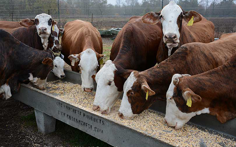 Cattle Eat Feed Pellet