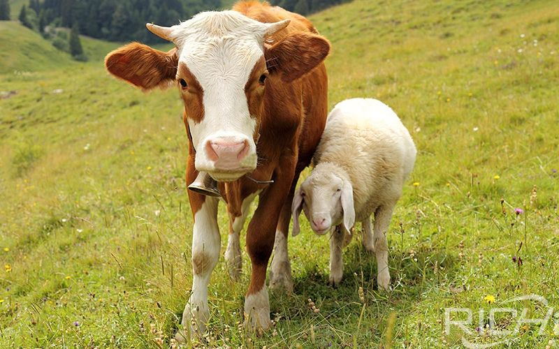 Can A Lactating Cow Eat Silage Cause Calf Diarrhea